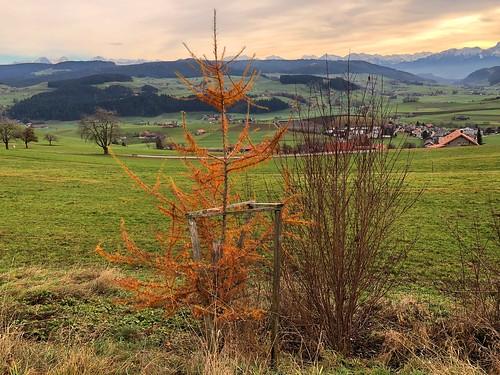 Herbst auf dem Möschberg Oberthal (Lärche im gelben Herbstkleid)