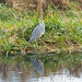 Young heron, Sandfields shore
