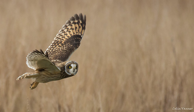 Short Eared Owl inflight