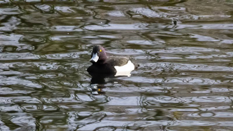 Tufted duck, Anglers Pool, Perton