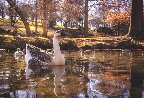 Duck Pond Goose