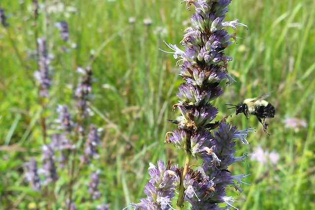 A bumble bee flying to an anise hyssop spike.
