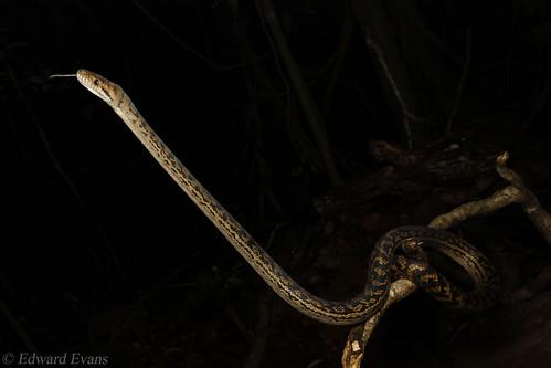 Scrub python (Simalia kinghorni)