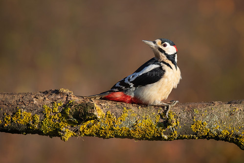Great Spotted Woodpecker (Dendrocopos major) | by Wildlife Photography by Matt Latham