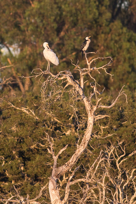 Yellow-billed Spoonbill and Little Pied Cormorant