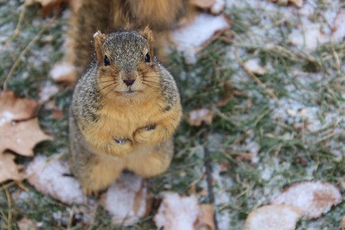 171/365/3823 (November 29, 2018) - Fox Squirrels in Ann Arbor on an Autumn day at the University of Michigan - November 29th, 2018