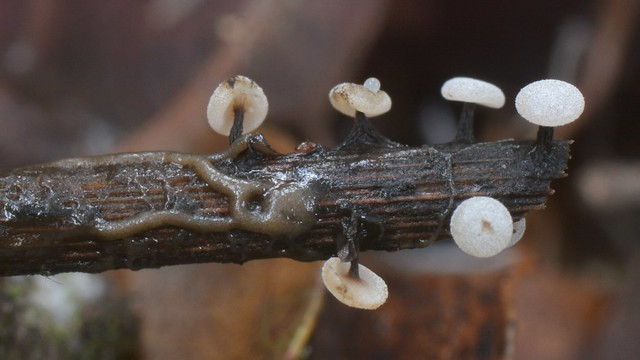 Slime molds on a dead stem - and the plasmodium they arise from