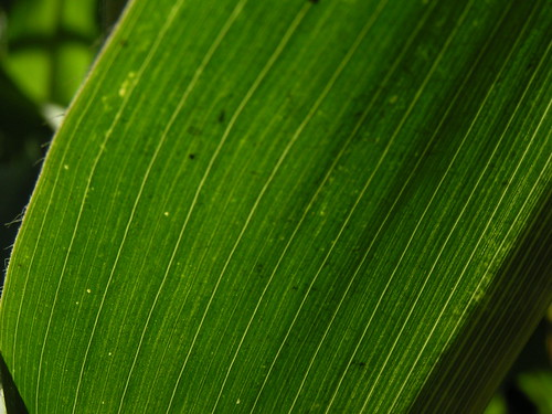 20080831 28691 1001 Jakobus Maisblatt grün Licht