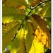 Finger Leaves