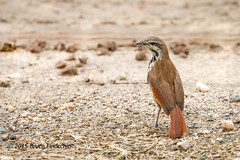 An Alert Spotted Morning Thrush On A Gravel Parking Lot