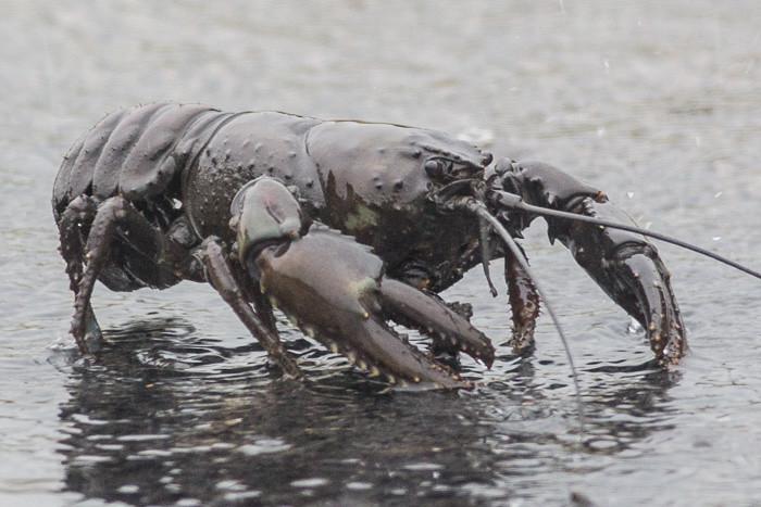 Tasmanian Giant Freshwater Lobster
