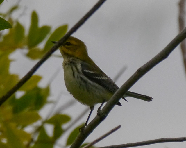 Black-throated Green Warbler - 1
