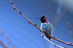 Christmas Hummingbird 2