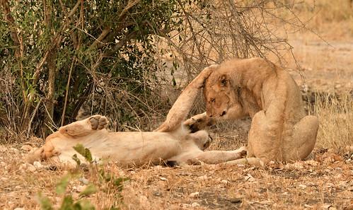 Lions/ Leeuwen