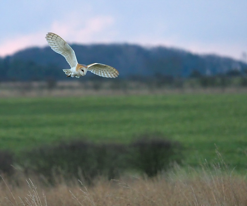 Barn Owl - difficult light, but not too bad.