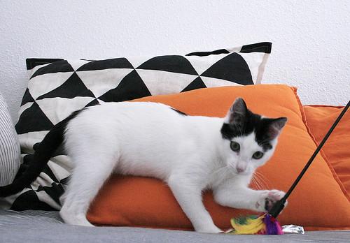 Morad, gatito blanco con toques negros muy juguetón nacido en Octubre´18, en adopción. Valencia. 33109607018_807cdeae70