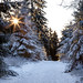 sun through the firs by Sabinche