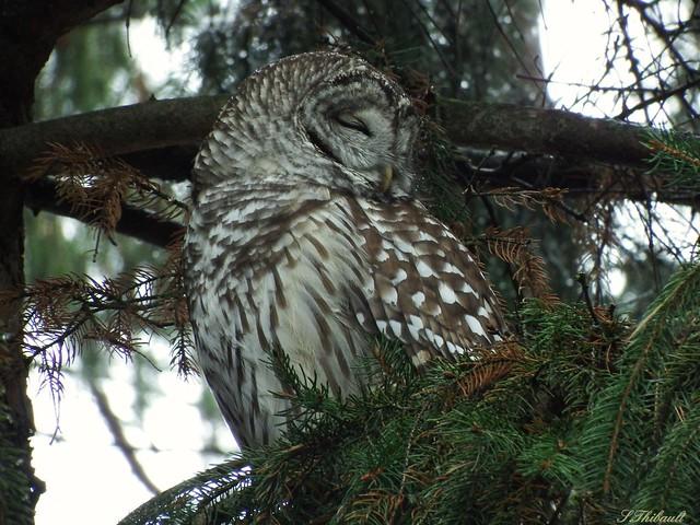 Barred Owl, Fujifilm FinePix S1