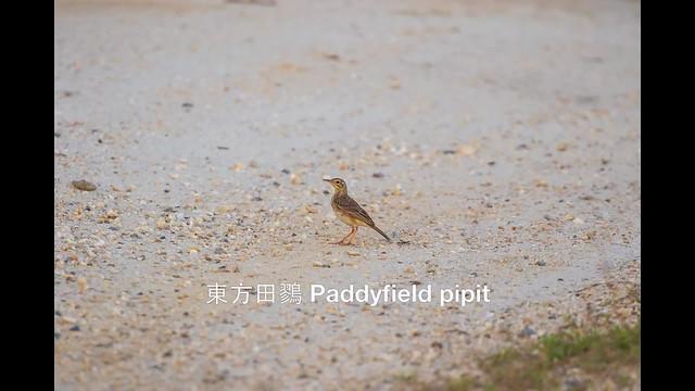 東方田鷚 Paddyfield pipit