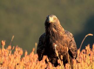 Aguila real (Aquila chrysaetos).