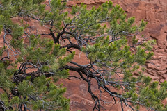 Pinyon Pine on Rainy Day in the Needles District of Canyonlands National Park