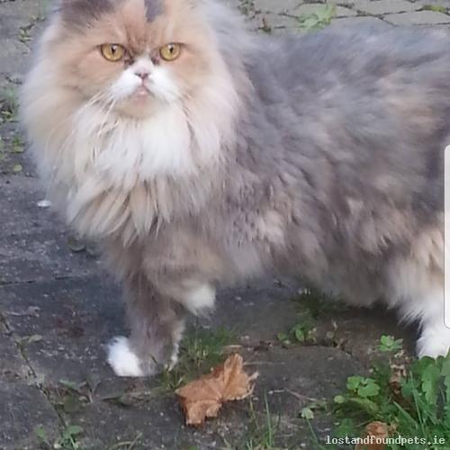 Mon, Nov 5th, 2018 Found Female Cat - The Belfry Chapel Lane, Thomastown, Kilkenny