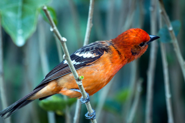 IMG_5116  Flame-colored Tanager