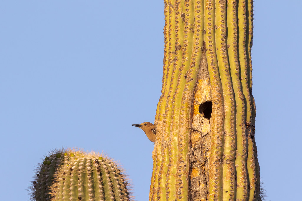 A male Gila woodpecker peeks out of his nest in a saguaro with an older nest visible nearby on the Jane Rau Trail in McDowell Sonoran Preserve