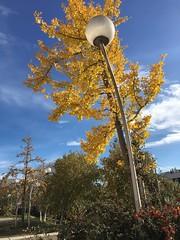 Ginkgo automne