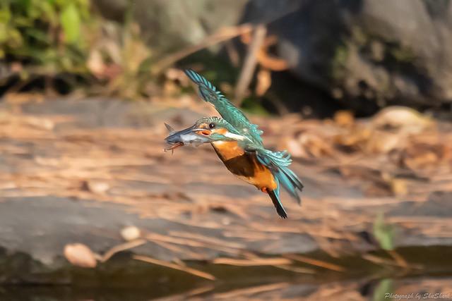 20181124-kingfisher-DSC_9939