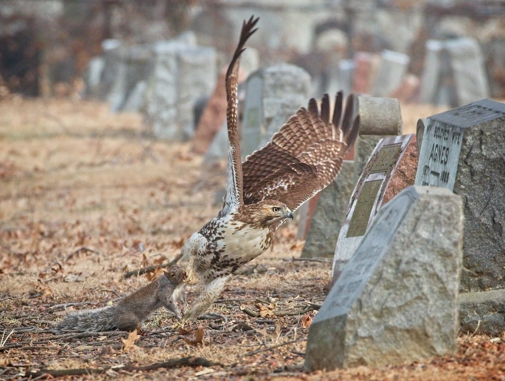 Immature red-tail dragging a squirrel