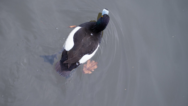 Tufted duck, from above