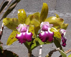 Cattlianthe Siamese Doll 'Kiwi'