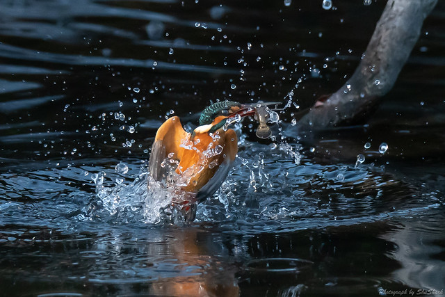 20181224-kingfisher-DSC_0315