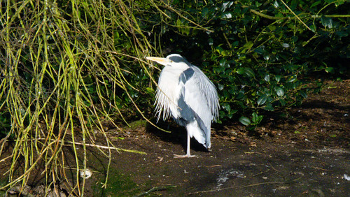 Two herons, before the cold