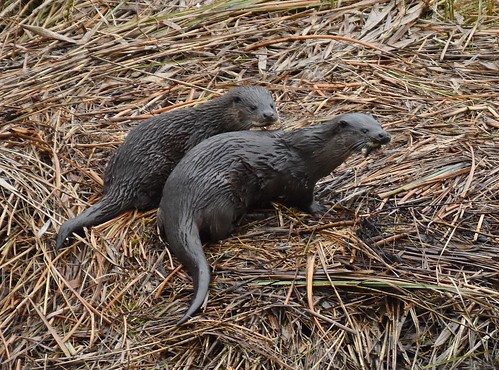 Otter Mum and one of her pups.