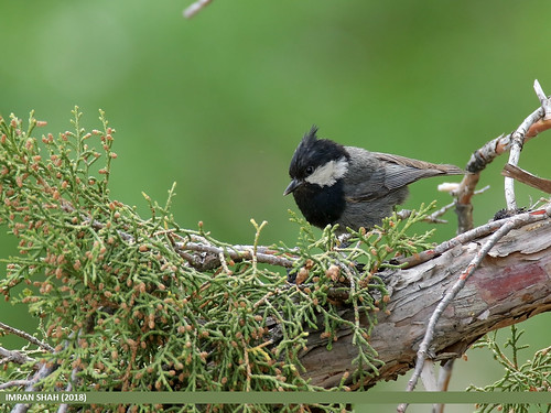 Rufous-naped Tit (Periparus rufonuchalis)