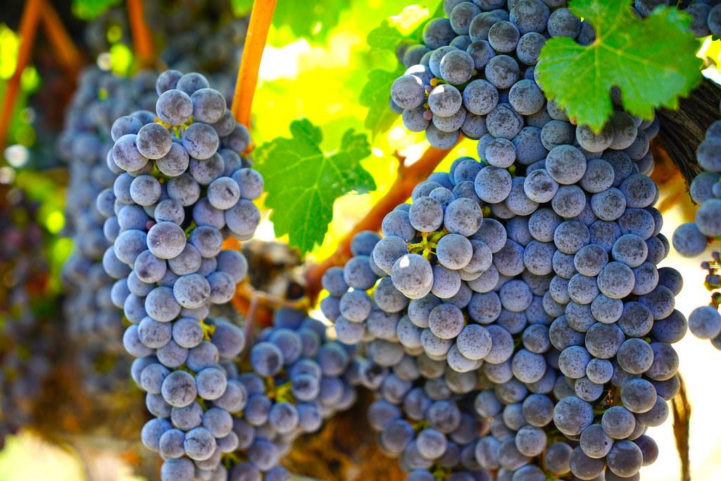 5_美國納帕_03_待採收的葡萄