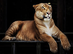Hercules the liger, half lion, half tiger. Original image from Carol M. Highsmith's America, Library of Congress collection. Digitally enhanced by rawpixel.