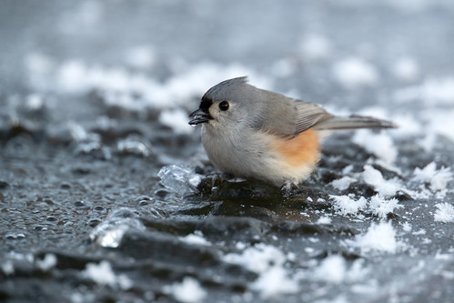 Tufted Titmouse on the ice