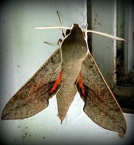Unknown moth (very pretty)
