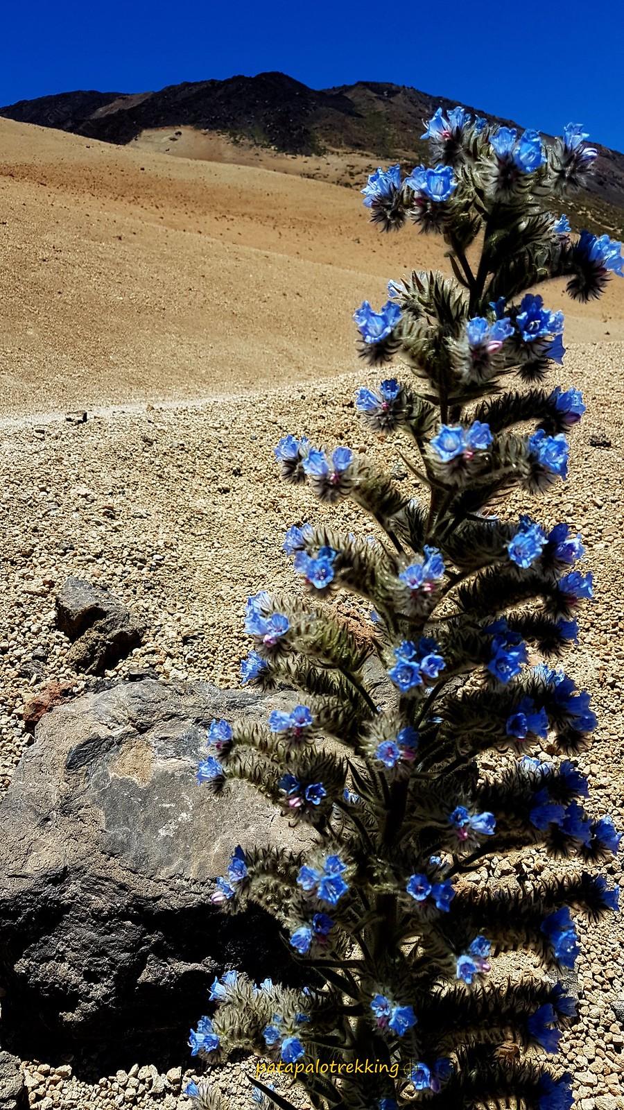 6a Tajinaste azul del Teide