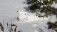 White-tailed Ptarmigan  5407