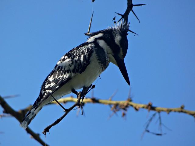 Photo:Pied kingfisher -  Ceryle rudis By Linda DV (away)