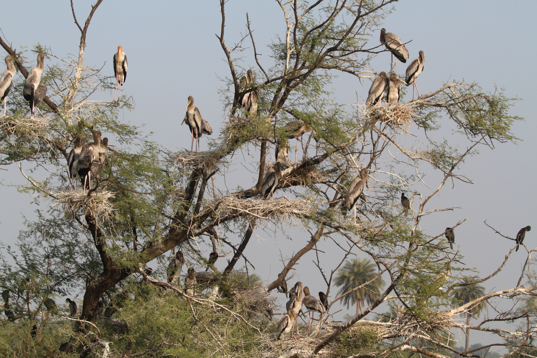Painted Stork Colony