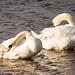 Mute swans preening
