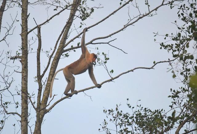 kota kinabalu brunei itinerary proboscis monkey