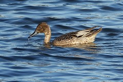 HolderPintail in eclipse