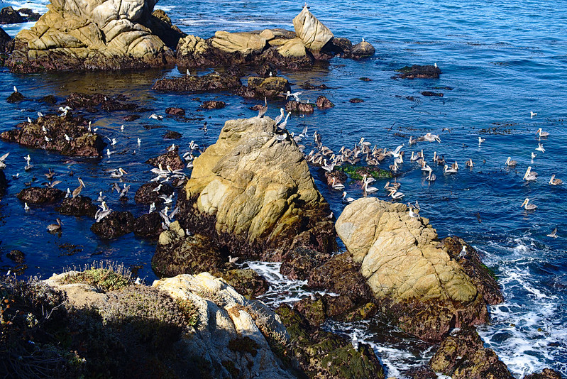 Pelicans, Cannery Point, Point Lobos