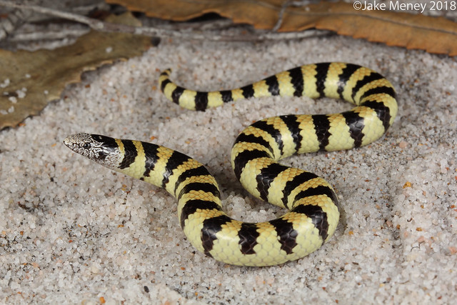West Coast Banded Snake, Canon EOS 60D, Canon EF-S 60mm f/2.8 Macro USM